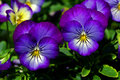 Blue pansy close up of flowers Royalty Free Stock Photos