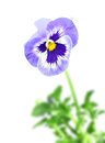 Blue pansy flower single on of focus green leaf backdrop isolated on white background close up studio photography Stock Photography