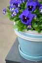 Blue pansy flowerpot flowers in ceramic Stock Images