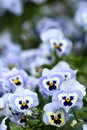 Blue pansy flowers Stock Photo