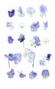 Blue pansy flowers design element arranged in rows isolated on white Stock Images