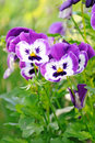 Blue pansy flowers in garden Stock Image