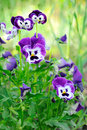 Blue pansy flowers in garden selective focus Stock Image
