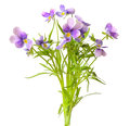 Blue pansy flowers isolated on white background Royalty Free Stock Images
