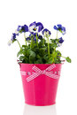 Blue pansy flowers in pink pot plant with Stock Image