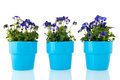 Blue pansy flowers plants with in pot Stock Photos
