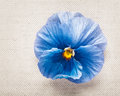 Blue pansy greeting card with mothers day concept single spring flower on linen fabric background copy space Royalty Free Stock Photo