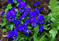 Blue pansy viola tricolor var hortensis in a garden Royalty Free Stock Image