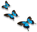 Blue papilio butterfly tree flying on white background Stock Images