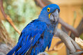 Blue Parrot Bird Royalty Free Stock Photo
