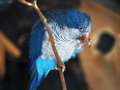 Blue parrot at branch Royalty Free Stock Photo