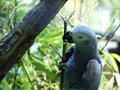 Blue parrot climbs up a branch Royalty Free Stock Photo
