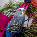Blue parrot on fir tree, Christmas. Royalty Free Stock Photo