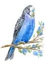 Blue parrot portrait.