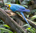 Blue parrot on a twig in the jungle Stock Photos