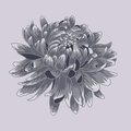 Blue  pastel colored chrysanthemum. Colored and lined chrysanthemum flower Royalty Free Stock Photo