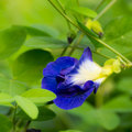Blue pea butterfly mussel shell creeper edible flower Royalty Free Stock Photos