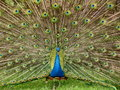 Blue peacock Royalty Free Stock Photos
