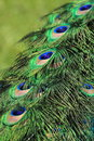 Blue Peacock Detail