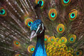 Blue peacock pavo cristatus a with colorful open feathers filling the entire frame Royalty Free Stock Photography