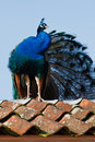 Blue peacock sitting on a roof Royalty Free Stock Image