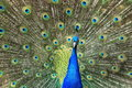 Blue peafowl the detail of displaying Royalty Free Stock Image