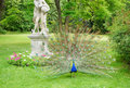 Blue peafowl standing next to a statue Stock Image