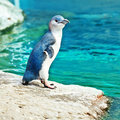 Blue penguin Royalty Free Stock Photo
