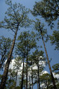 blue pines sky tall Royaltyfri Fotografi