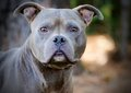 Blue Pit Bull Adoption Portrait Royalty Free Stock Photo
