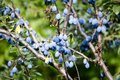 Blue plum fruit on a tree in the nature Royalty Free Stock Photo