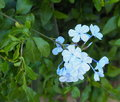 Blue Plumbago In Bloom Royalty Free Stock Photo