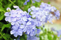 Blue plumbago cape leadwort plumbago auriculata Stock Photography