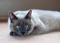 Blue point domestic short hair cat with pale ice eyes lays on beige carpet in wary repose Stock Photography