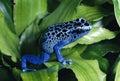 Azul tóxico lanza rana