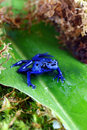 Blue Poison Dart Frog Royalty Free Stock Image