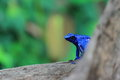 Blue poison dart frog behind the tree Stock Photos