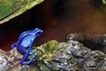 Blue poison dart frog bright sitting on a rock Stock Photos