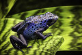 Blue poison dart frog Royalty Free Stock Photo