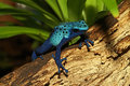 Blue poison dart frog dendrobates azureus one of the deadliest animals in the world Stock Photography