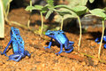 Blue poison dart frog dendrobates azureus in republiek suriname Royalty Free Stock Photography