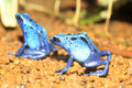 Blue poison dart frog dendrobates azureus in republiek suriname Stock Images