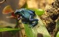 Blue poison dart frog Dendrobates tinctorius azureus Royalty Free Stock Photo