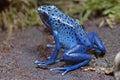 Blue Poison-dart Frog Royalty Free Stock Photo