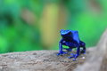 Blue poison dart frog lue on the wood Stock Photography
