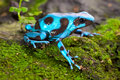 Blue poison dart frog poisonous animal Royalty Free Stock Photo