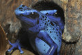 Blue Poison Frog Stock Images