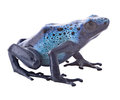 Blue poison frog dart dendrobates azureus from the tropical amazon rain forest in suriname beautiful exotic and poisonous Stock Photos