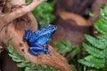 Blue poison frog Royalty Free Stock Photo