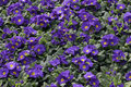 Blue primila flowers on a flowerbed Royalty Free Stock Images